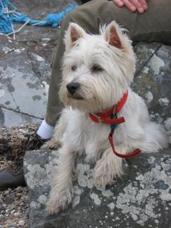 West Highland Scottish Terrier
